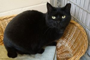 Shyamalan is a 7-year-old spayed female black cat who was brought to us after she was found as a str