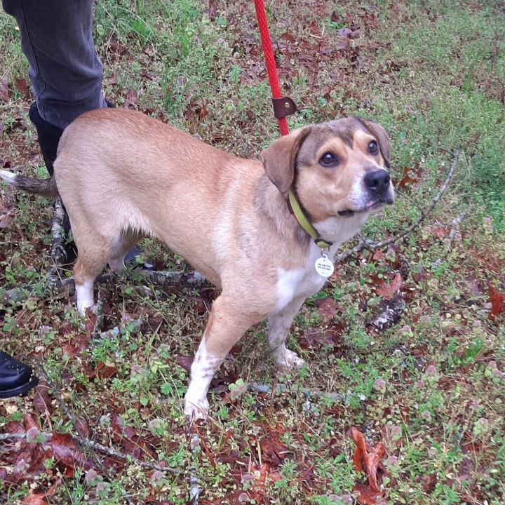 Coco, an adoptable Beagle Mix in Clayton, NC
