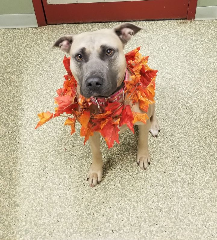 Bella, an adoptable Pit Bull Terrier Mix in Warwick, RI