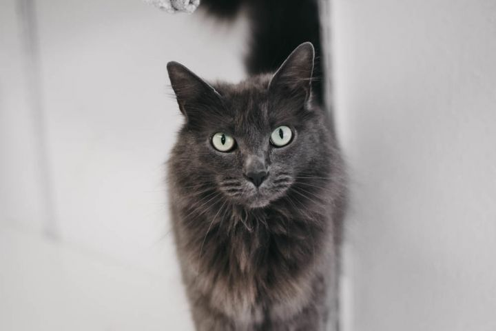 Shadow, an adopted Domestic Long Hair Mix in Longview, WA