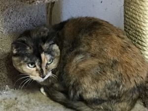 Calli is a 10 year old tortiseshell She is shy but will let you pet her She needs a loving