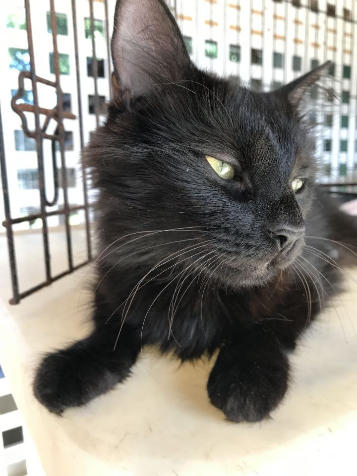 Missy, an adopted Domestic Medium Hair in Fort Lauderdale, FL