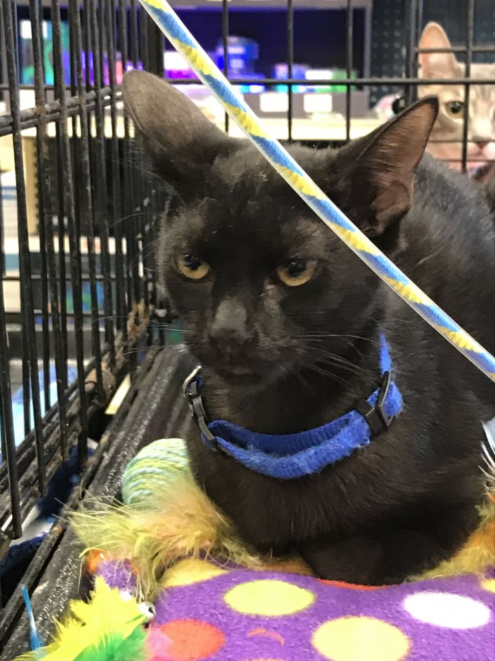 Tallulah, an adopted Domestic Short Hair in Fort Lauderdale, FL