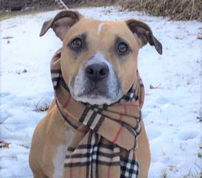 Lady  this beautiful Pit Bull Terrier  Labrador retriever mix is the family dog you have been loo