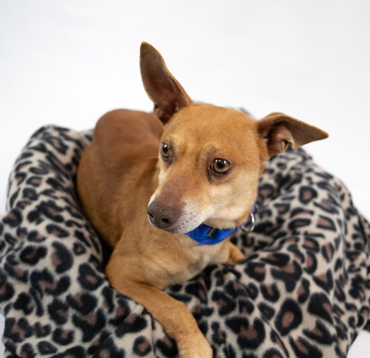 Thatcher, an adopted Chihuahua & Dachshund Mix in Kennesaw, GA