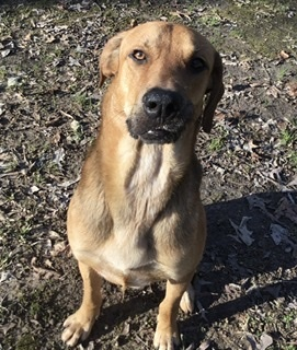Tater(Paws in Prison), an adoptable Labrador Retriever & Black Mouth Cur Mix in Little Rock, AR