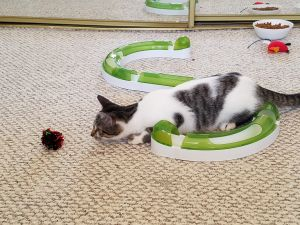 JoJo is a  loving affectionate cat who loves to snuggle up with you She is extremely close to her