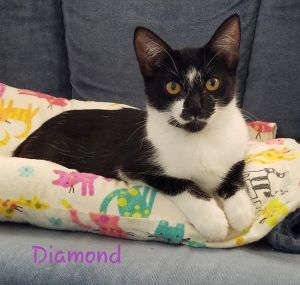Diamond is a loving affectionate cat who loves to snuggle up with you and sit on your lap She is