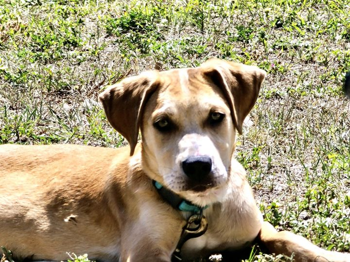 Bentley, an adopted Labrador Retriever Mix in Saint Petersburg, FL