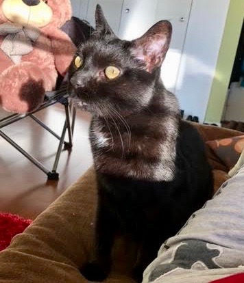 Queenie, an adoptable Domestic Short Hair in Long Beach, NY