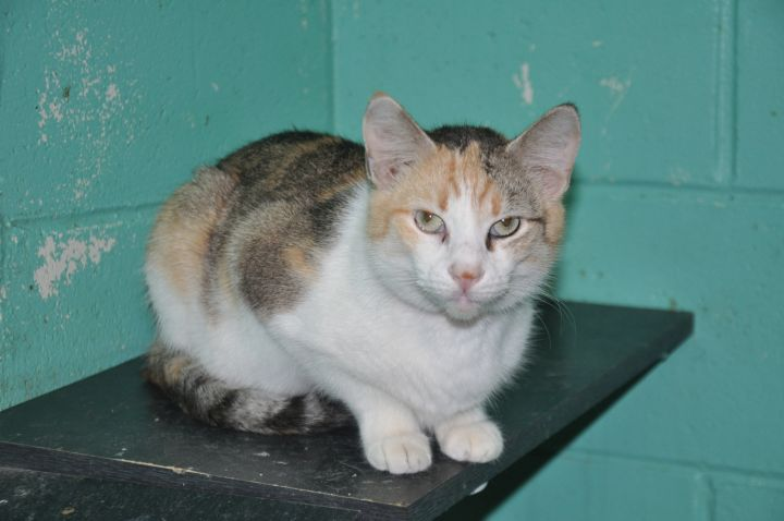 Annie, an adopted Domestic Short Hair in Milledgeville, GA