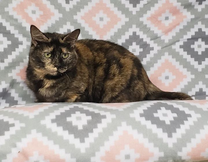 Guinevere, an adopted Domestic Short Hair in Madison, WI
