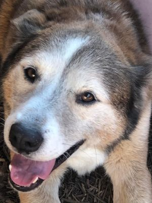 Meet Patch How handsome is our fluffy man with his grey muzzle While he is quite the salt an pepp