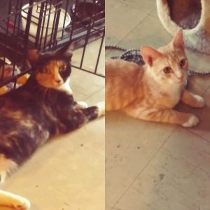 PHOENIX tabby male and LUNA calico female are young bonded brother and sister that came to us by