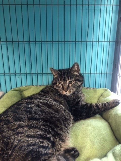 Eeyore, an adoptable Domestic Short Hair in Spencer, IN