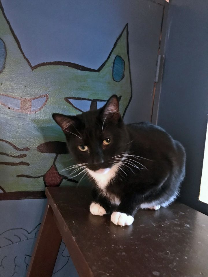 James Montgomery, an adoptable Domestic Short Hair in South Ozone Park, NY
