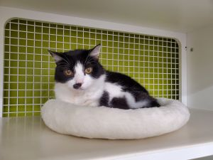 Nosey is a 10 year old Blue  White Tuxedo She has had one pet parent and lived as an