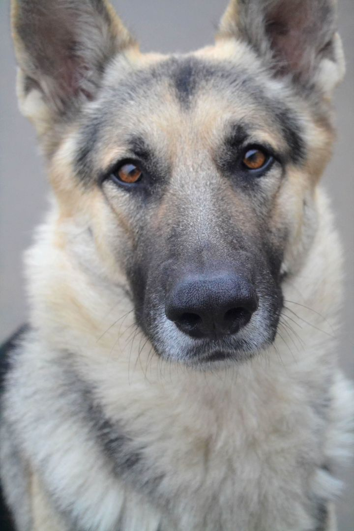 Ricky Ricardo, an adopted German Shepherd Dog in Chesterfield, MO