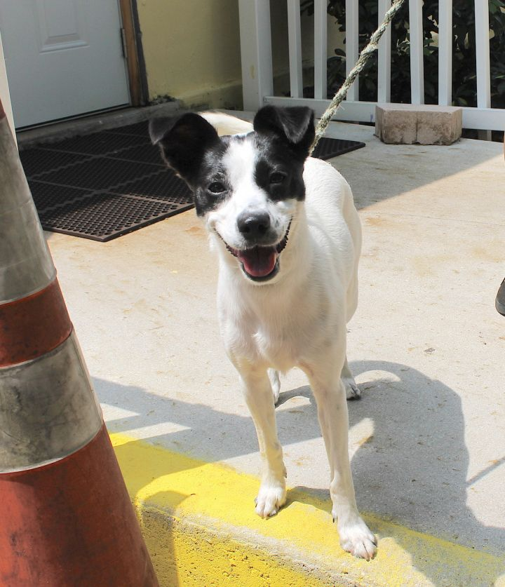 Rainbow, an adopted Rat Terrier Mix in Boca Raton, FL
