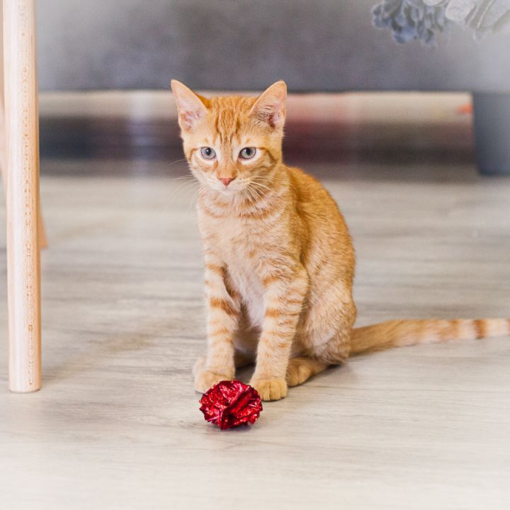 Levi, an adopted Domestic Short Hair in Ponte Vedra, FL