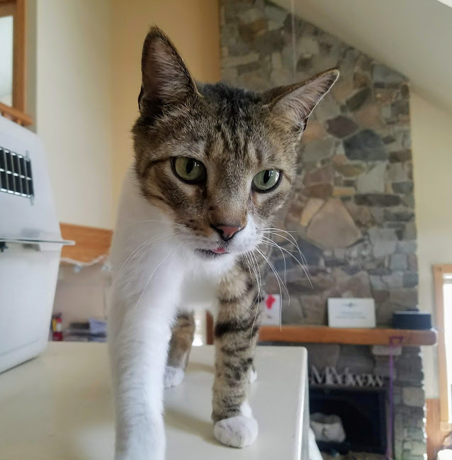 Stryder, an adoptable Domestic Short Hair in Ridgway, CO