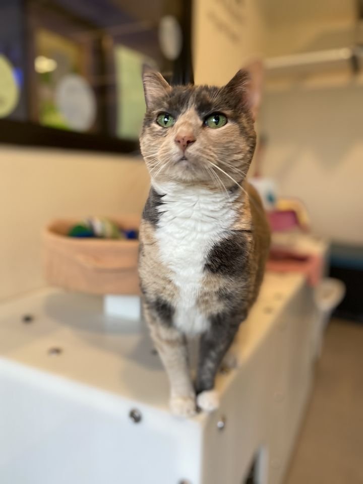 Stitch, an adopted Domestic Short Hair in Bellingham, WA