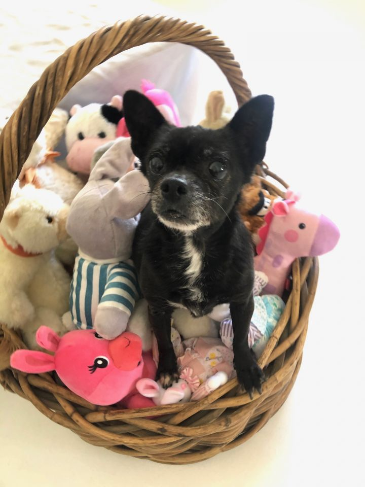 Princess, an adoptable Chihuahua & Pug Mix in Agua Dulce, CA