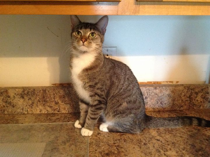 Jessie, an adoptable Domestic Short Hair in Hendersonville, TN