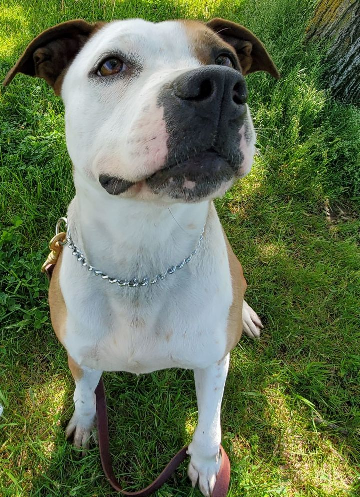 Roxie, an adoptable Pit Bull Terrier Mix in Garden City, MI