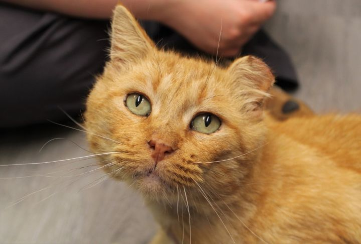 Cheese, an adoptable Domestic Short Hair Mix in Springfield, MO