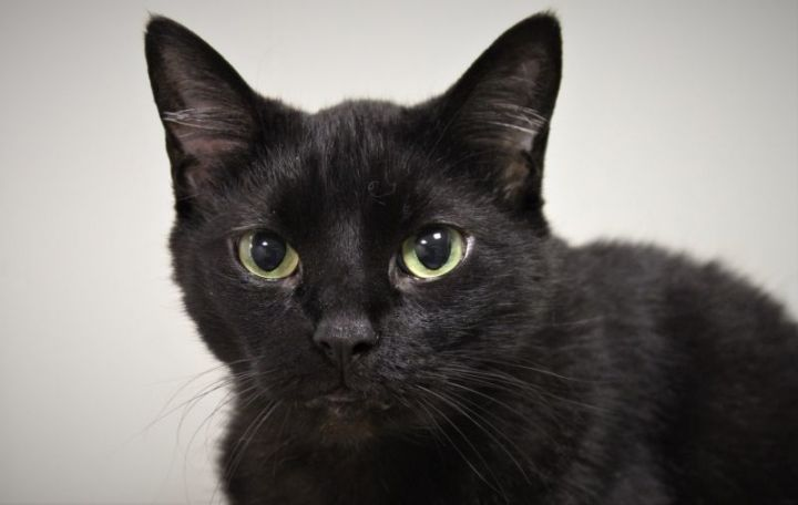 Bitty, an adoptable Domestic Short Hair Mix in Springfield, MO