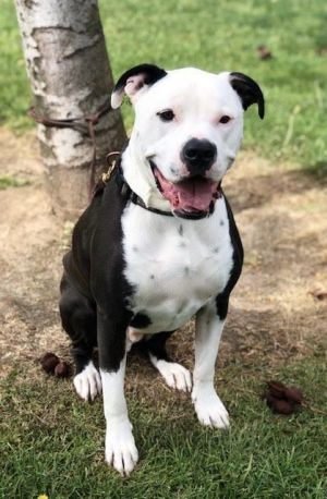 This is handsome Max Hes a 80lb 2 12 yr old Staffordshire TerrierBoxer mix Neutered chipped up