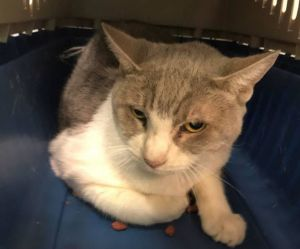 Leah was described by the city shelter as Mellow Quiet Social Calm Sweet Lap Cat Because she is shy