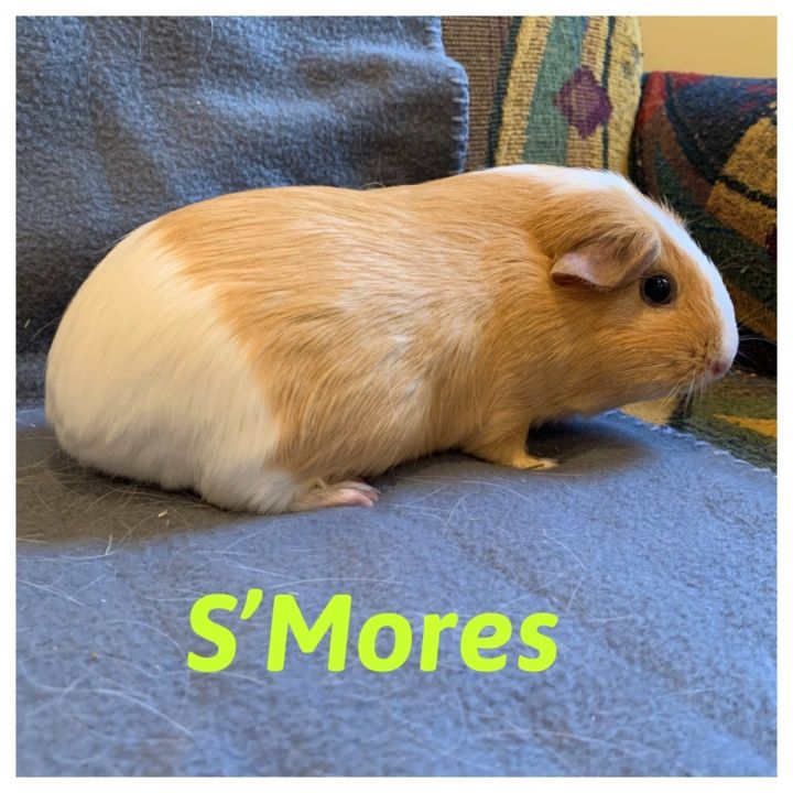 Samoa & S'Mores, an adopted Guinea Pig Mix in Bellingham, WA