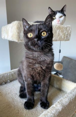Basil is a sweetheart She can be adopted alone or to a home with another young playful cat She enj