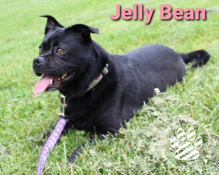 Jelly Bean ADOPTION PENDING, an adopted Pug & Puggle Mix in Cincinnati, OH