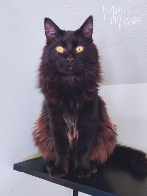 Aladdin is an excellent young adult male kitty He came to the Mission as a kitten and for one reaso