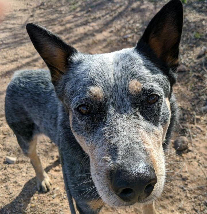 Bandit, an adoptable Australian Cattle Dog / Blue Heeler in Sierra Vista, AZ