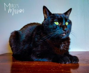 Salem is 9 years old domestic short hair who came to Murcis Mission when his previous owner could n