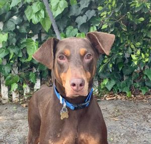 Misty a 9 yr old female purebred Doberman Pinscher is going to be your perfect one and only dog