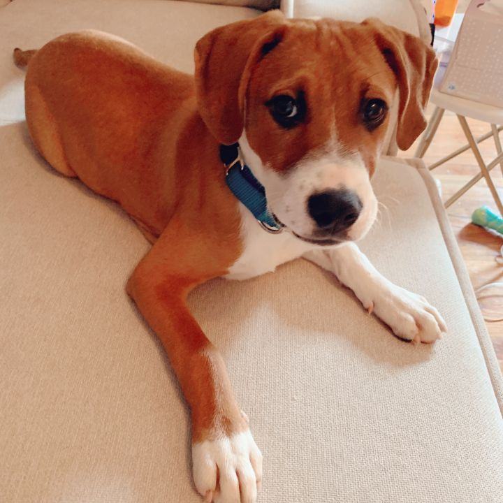 DAVID ROSE, an adopted Beagle & Hound Mix in Jersey City, NJ
