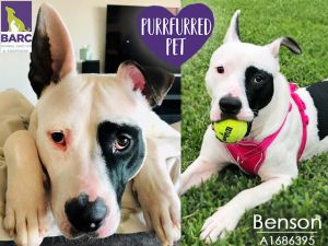 Looking for the life of the party Benson loves everyone Hes been around children enjoys running