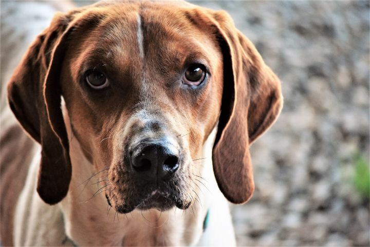 Jack, an adopted American Foxhound in Madison, GA