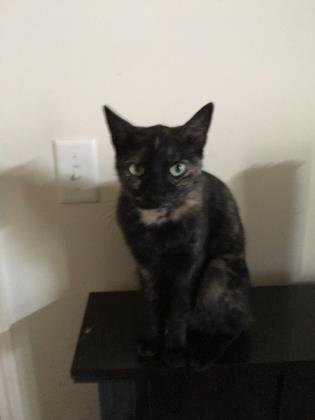 Torrie, an adoptable Domestic Short Hair in Port Saint Joe, FL