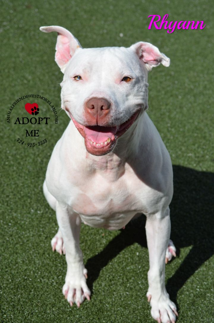 Rhyann, an adoptable Pit Bull Terrier in Youngwood, PA