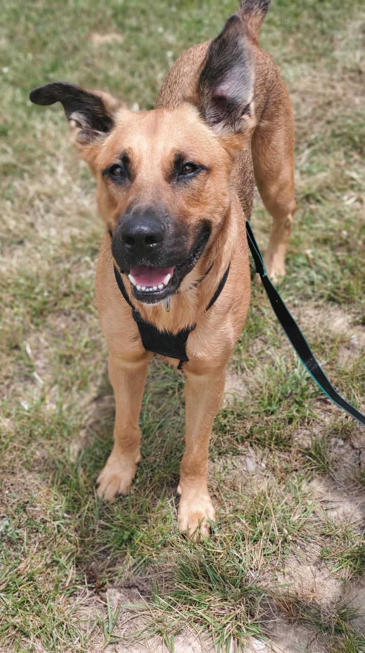 Otis, an adopted Shepherd Mix in Springfield, MO