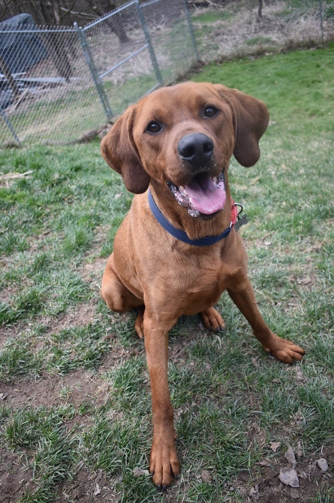 JASPER, an adoptable Coonhound & Rottweiler Mix in Dallas, PA