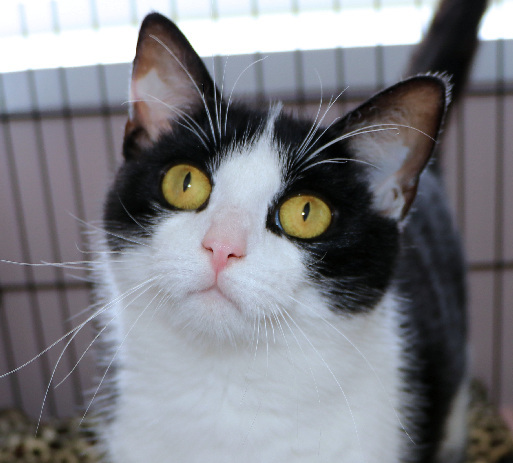 Macie, an adoptable Domestic Short Hair in Cincinnati, OH