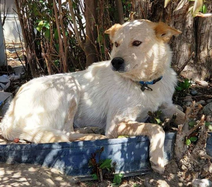 Dog For Adoption Tessa An Australian Cattle Dog Blue Heeler Shepherd Mix In Billings Mt Petfinder