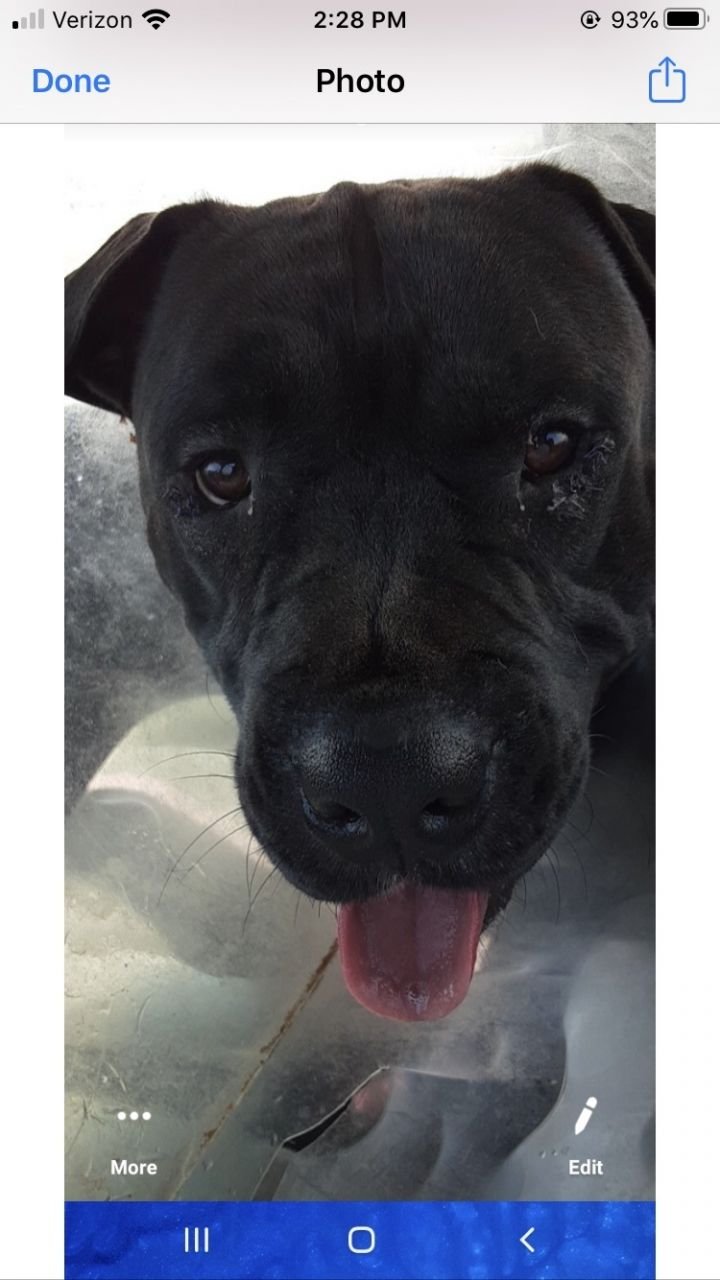 Bear, an adopted Cane Corso Mix in Spencer, IN